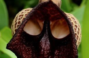 Erscheinung 2014: Forscher entdecken Darth Vader Gesicht in Blüten