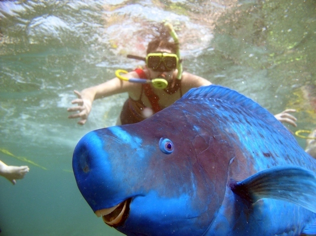 And this Bump-Head hogging the limelight (parrotfish really love photobombing!)