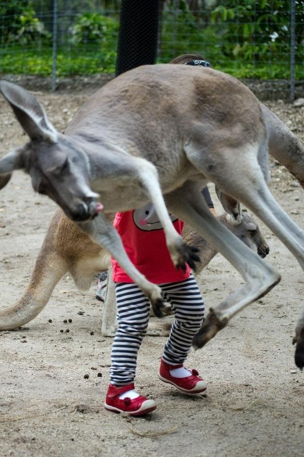 The Flying Kangaroo.