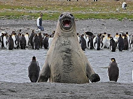 The Elated Elephant Seal.