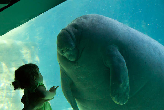 The Dominating Dugong.