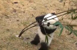 Baby-Panda vs. Bambus