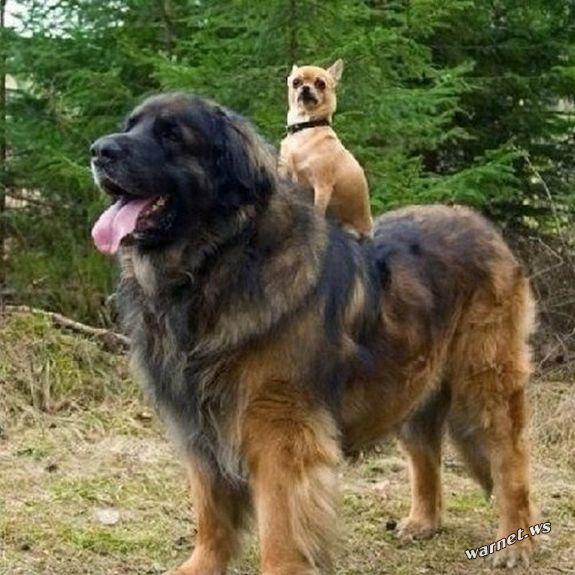 riesige-hunde (4)