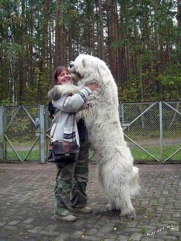 riesige-hunde (6)
