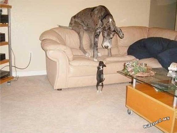 riesige-hunde (8)