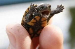 Baby-Schildkröten entdecken die Welt. Auf Bild Nr. 16 schlägt jemand aus der Art!!!!