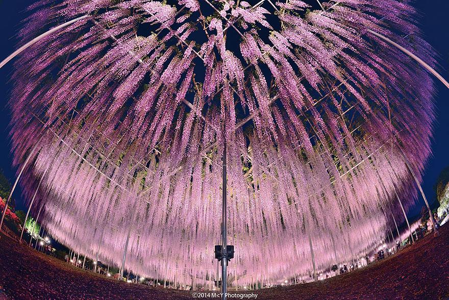 japan-baum-wisteria (4)