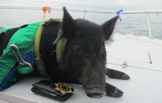 schwein (4)