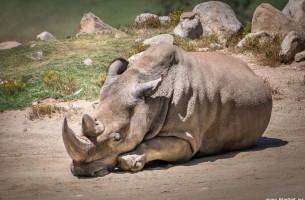 Der letzte Bulle des Weißen Nashorns ist tot!