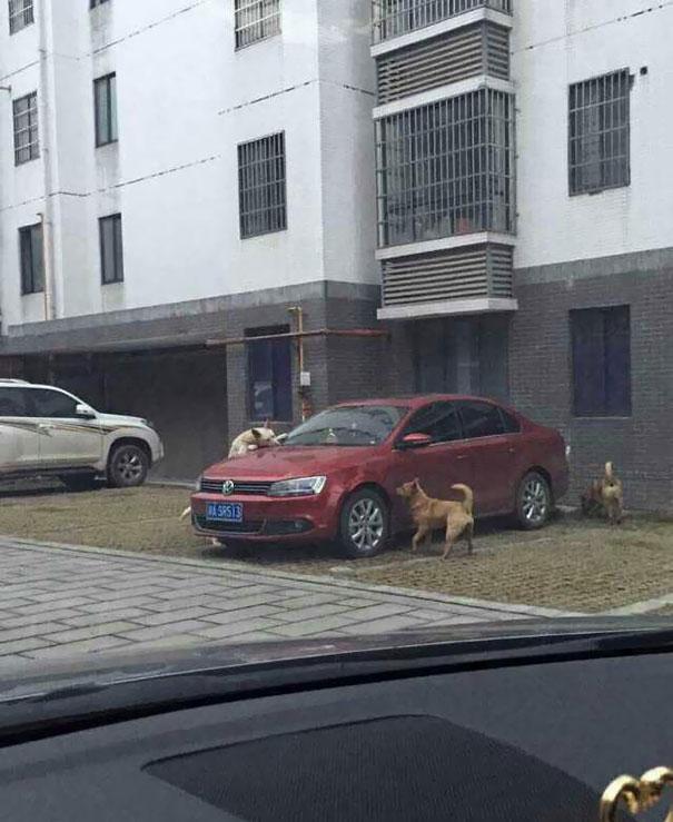 hund-auto (4)