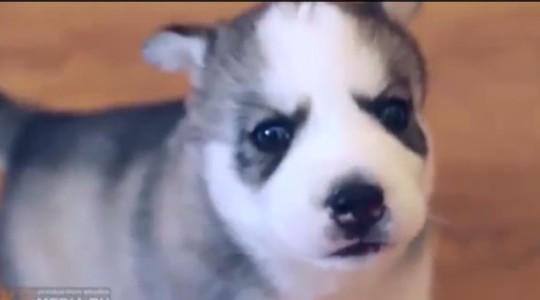 Husky-Welpen. Extrem süß!