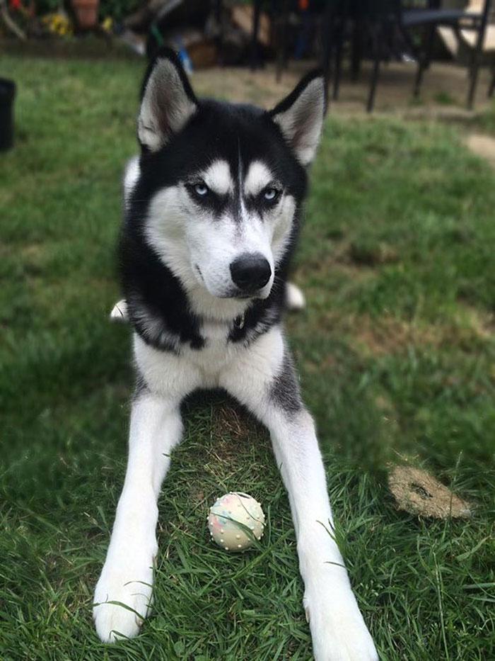 hund-husky (2)