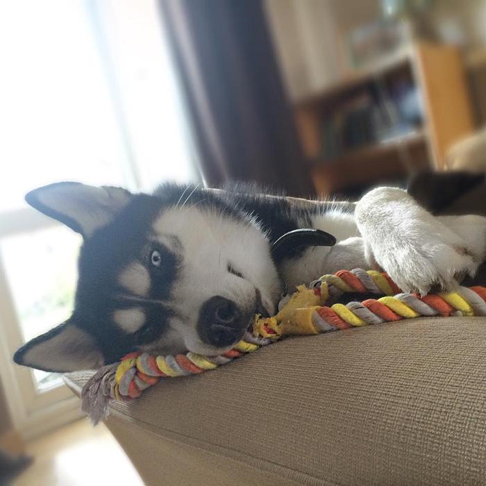 hund-husky (6)