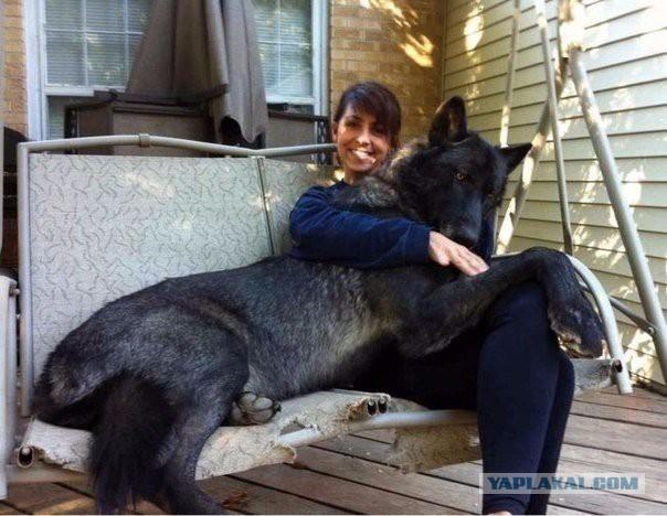 riesen-hunde (22)